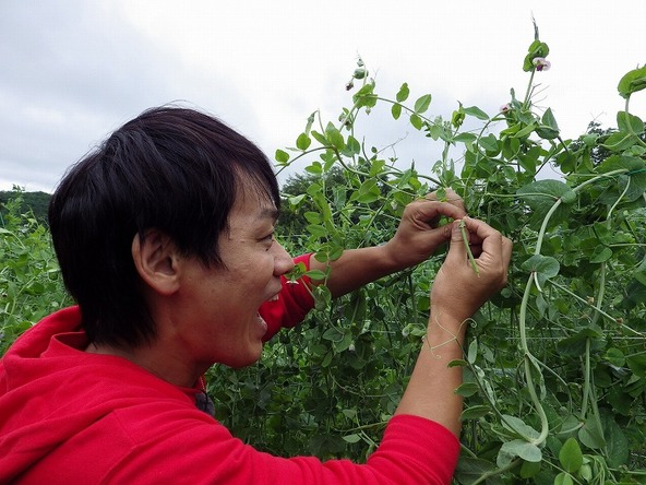 『あぐり王国北海道NEXT』緑のつるの中から絹さやを収穫! (c)HBC