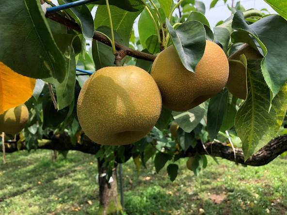 「旬だからこそ美味しく食べたい」あなたの知らない梨の世界を大公開!甘い梨の見分け方&切り方の秘訣も『ガッテン!』