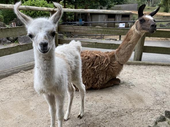 伊豆シャボテン動物公園 ラマの赤ちゃん