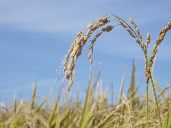 『あぐり王国北海道NEXT』今年も稲刈りの季節がやってきました (c)HBC