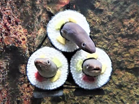 仙台うみの杜水族館「アナゴの恵方巻水槽」